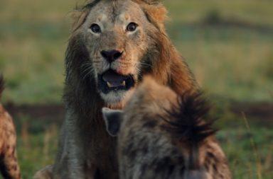 leeuw - hyena - gevecht